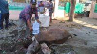Pemotongan sapi Idul Adha 1441 H